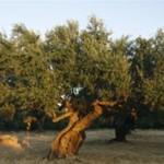 olivový strom