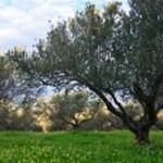 olivovy haj 1