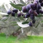 olivy na strome
