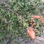 olivy zber rucne